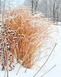 The winter garden part 3 the best landscaping in binghamton miscanthus or maiden grass are some of the showiest of the ornamental grasses most types produce a feathery plume during the fall season workwithnaturefo